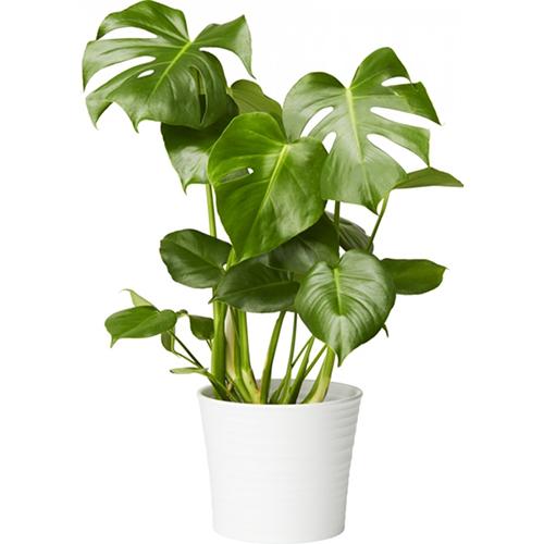 plantasjen monstera