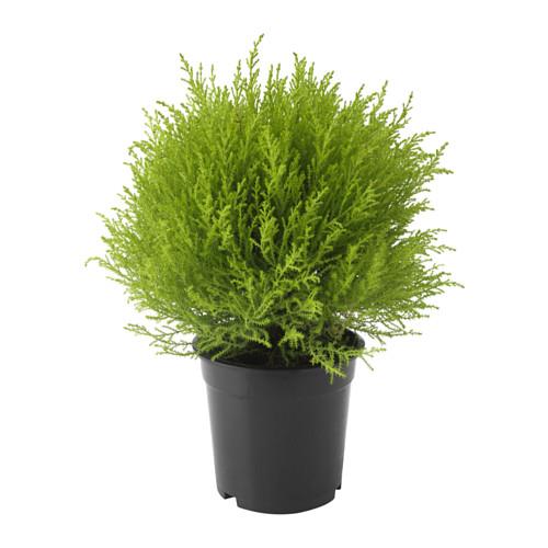 cupressus-macrocarpa-potteplante__0372905_PE551987_S4 kr 79 Ikea