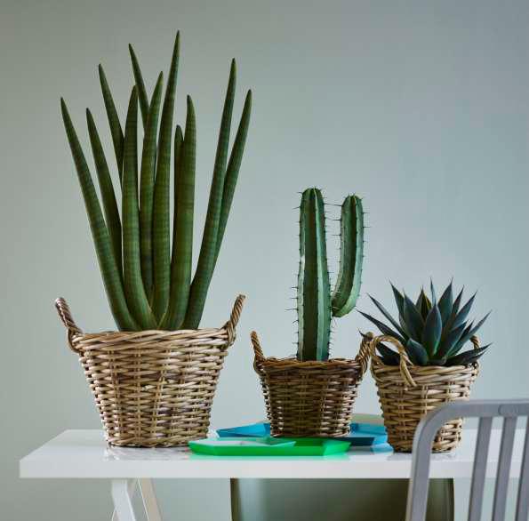 kaktuser fra mester grønn